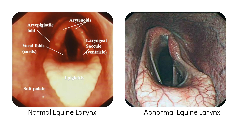 Laryngeal Tie Back Surgery Horse Best Tie 2018